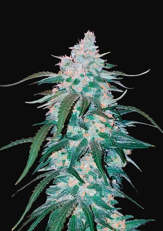 Pineapple-Express-Fast-Buds