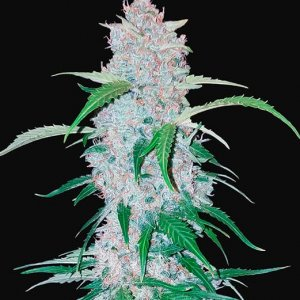 Six Shooter | Fast-Buds