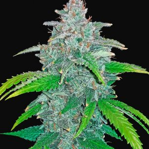 Blue-Dream'matic-Fast-Buds