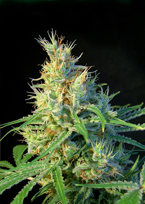 Psicodelicia-Sweet-Seeds