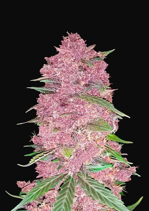 Purple-Lemonade-Fast-Buds