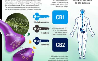 Come funziona il sistema endocannabinoide